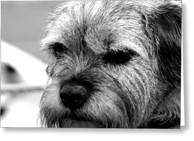 Dog Photographs Greeting Cards - Teddy Greeting Card by Sharon Lisa Clarke