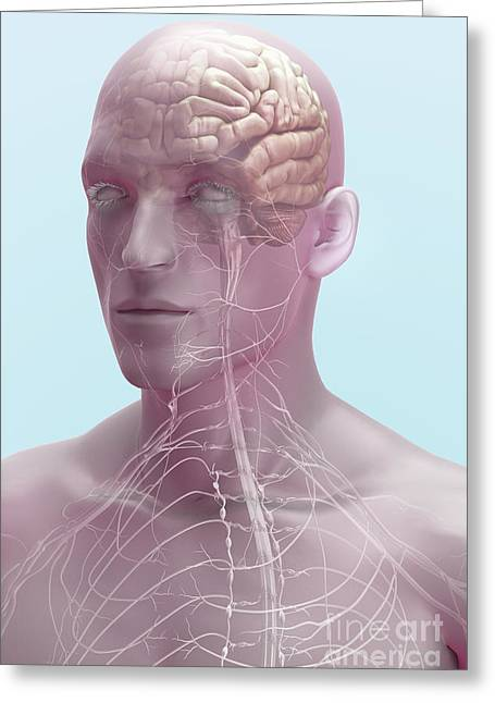 Cerebral Hemisphere Greeting Cards - The Brain And Nerves Greeting Card by Science Picture Co