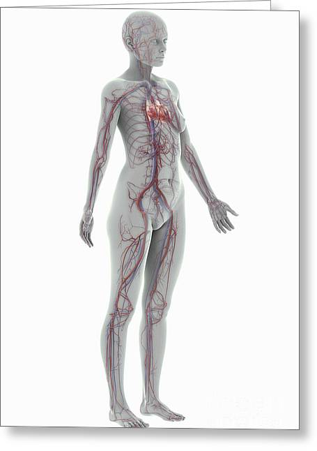 Digital Artery Greeting Cards - The Cardiovascular System Female Greeting Card by Science Picture Co