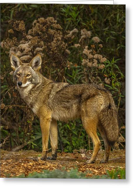 Ernie Greeting Cards - The Coyote Greeting Card by Ernie Echols