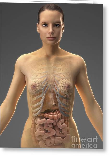 Abdominal Greeting Cards - The Digestive System Female Greeting Card by Science Picture Co