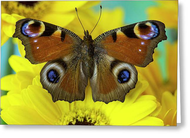 The European Peacock Butterfly, Inachis Greeting Card by Darrell Gulin