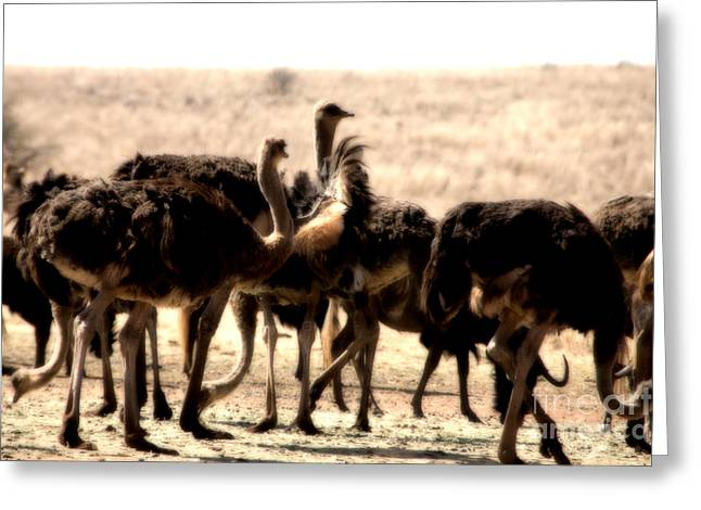 Ostrich Greeting Cards - The Gathering Place Greeting Card by Douglas Barnard