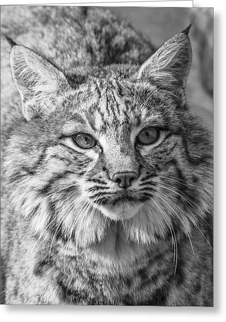 Bobcats Greeting Cards - The Bobcat Greeting Card by Thomas Schreiter