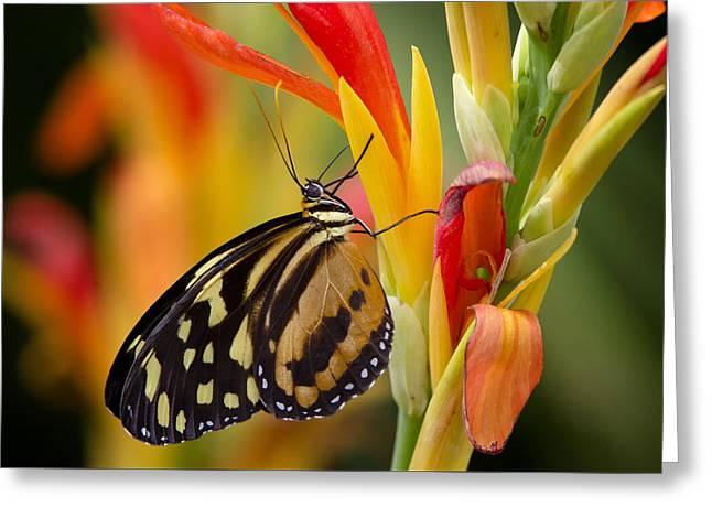 The Postman Butterfly Greeting Card by Saija  Lehtonen
