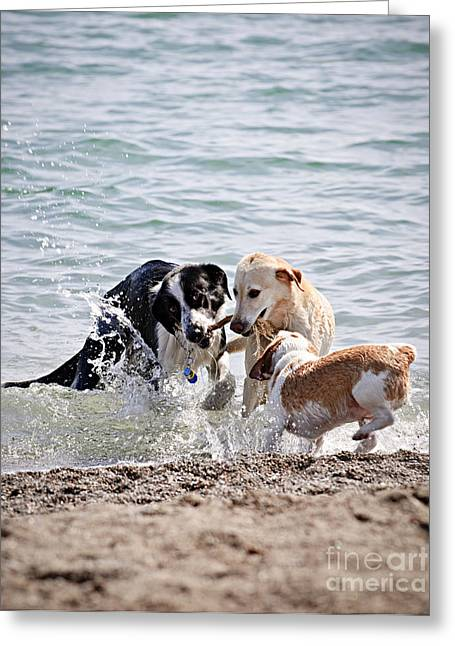 Doggie Greeting Cards - Three dogs playing on beach Greeting Card by Elena Elisseeva