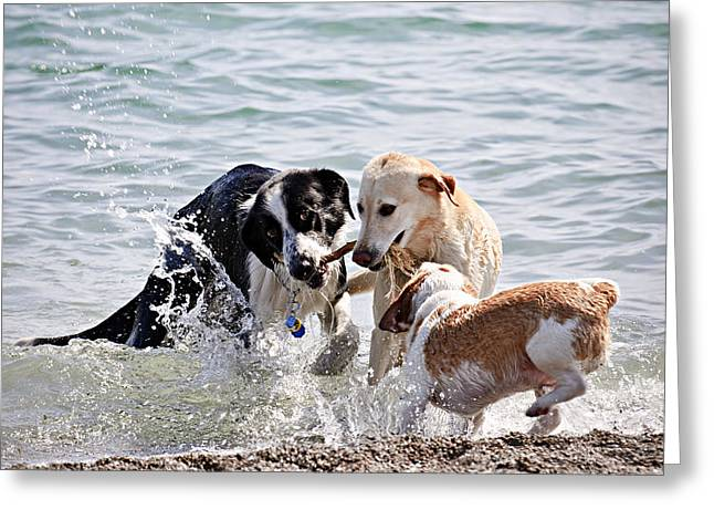Three dogs playing on beach Greeting Card by Elena Elisseeva