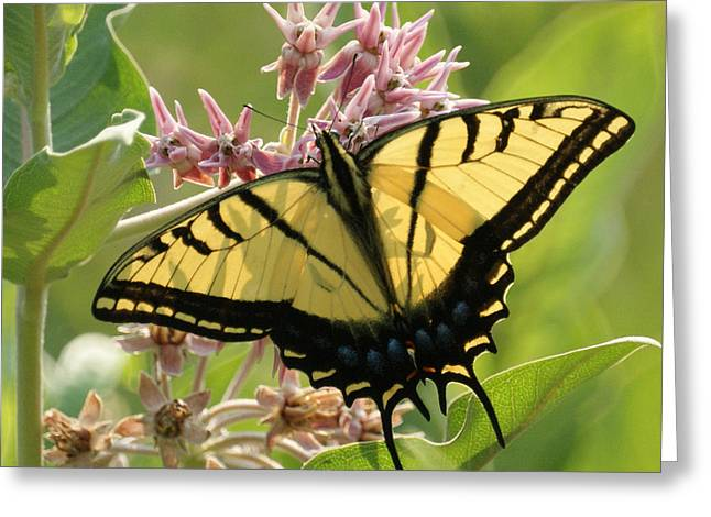 Tiger Swallowtail Greeting Cards - Tiger Swallowtail Butterfly Greeting Card by Ernie Echols
