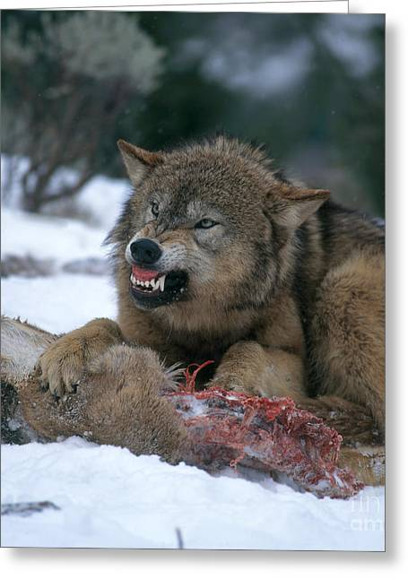 Growling Greeting Cards - Timber Wolf Greeting Card by Hans Reinhard