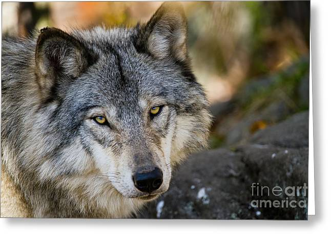Animal Pics Greeting Cards - Timber Wolf Pictures Greeting Card by Michael Cummings