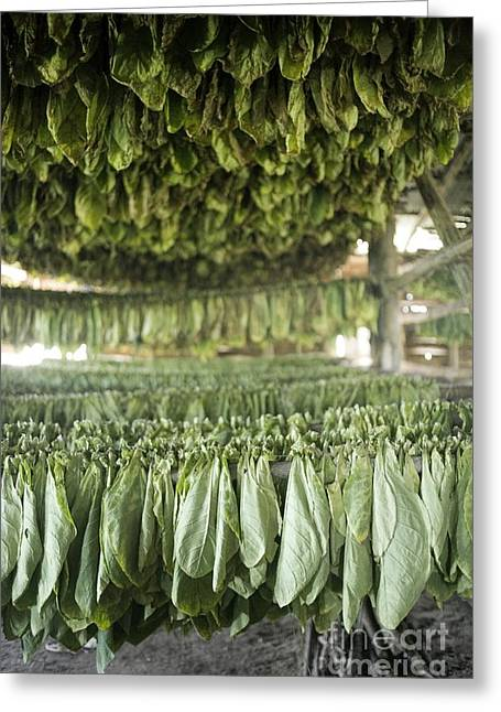 Greater Antilles Greeting Cards - Tobacco Farming Greeting Card by PhotoStock-Israel