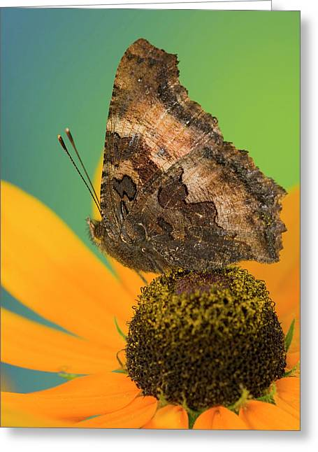 Tortoise-shell Butterfly, Nymphalis Greeting Card by Darrell Gulin
