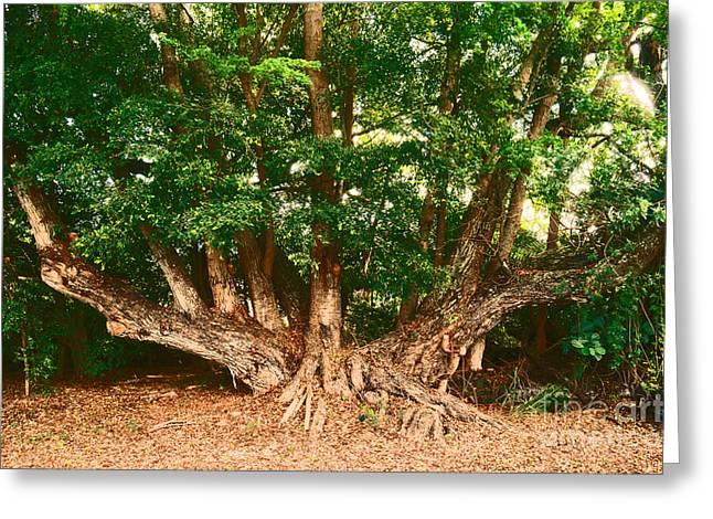 Waimea Falls Greeting Cards - Tree at Waimea Greeting Card by Lisa Cortez