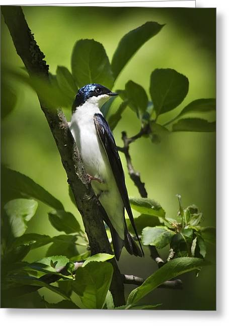 Swallow Photographs Greeting Cards - Tree Swallow Greeting Card by Christina Rollo