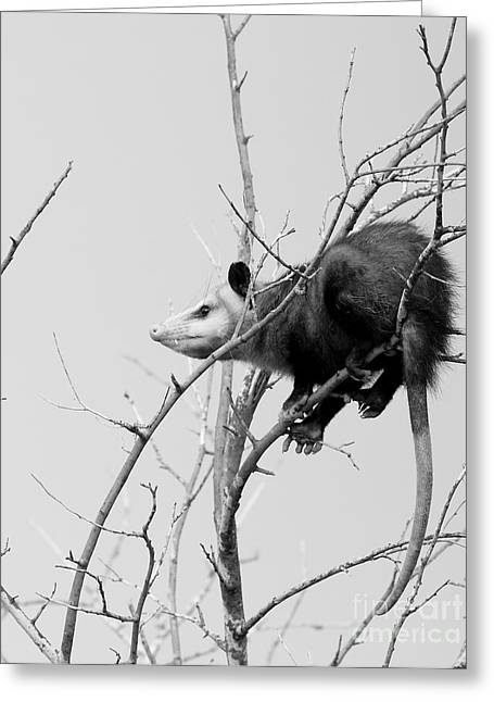 Possum Greeting Cards - Treed Opossum Greeting Card by Robert Frederick
