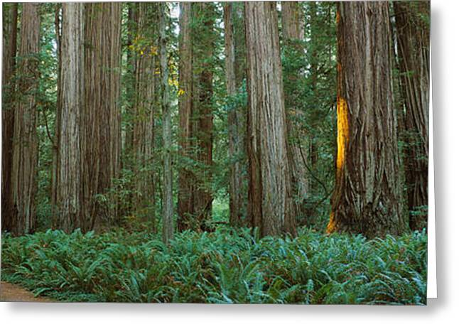 The Trees Greeting Cards - Trees In A Forest, Jedediah Smith Greeting Card by Panoramic Images