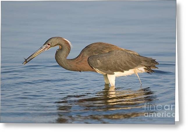 Tri-colored Heron Greeting Cards - Tri-colored Heron Greeting Card by Anthony Mercieca
