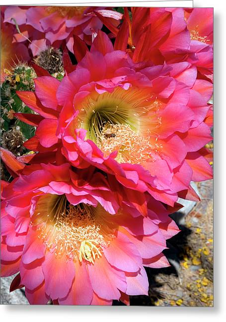 Trichocereus Flowers Greeting Card by Susan Degginger