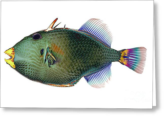 Bony Fish Greeting Cards - Triggerfish X-ray Greeting Card by D Roberts