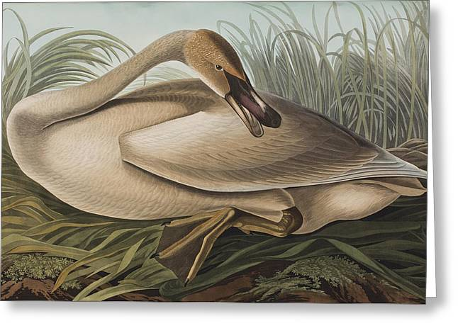 Birds Drawings Greeting Cards - Trumpeter Swan Greeting Card by John James Audubon