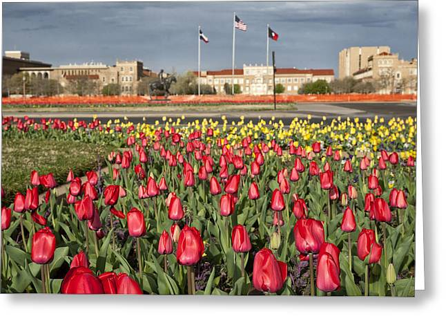 Floral Photos Greeting Cards - Tulips at Texas Tech University Greeting Card by Melany Sarafis