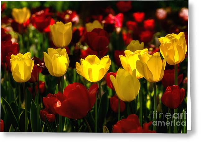 Istanbul Greeting Cards - Tulips from Istanbul Greeting Card by Merthan Kortan