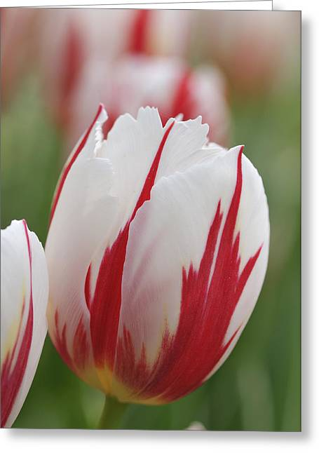 Singly Greeting Cards - Tulips Greeting Card by Matthias Hauser