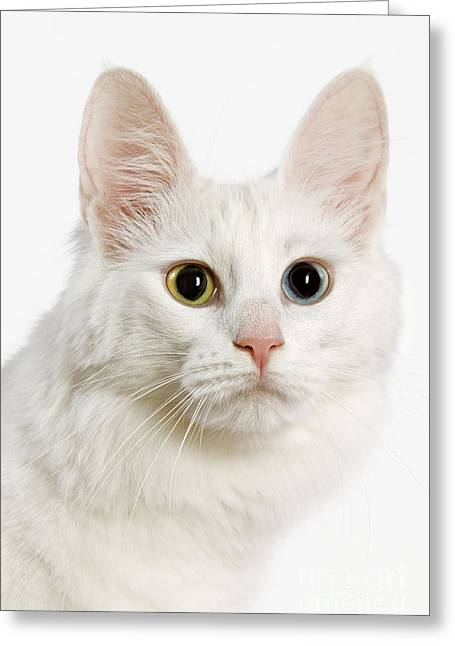 Cat Breeds Portraits Greeting Cards - Turkish Angora Cat Greeting Card by Jean-Michel Labat