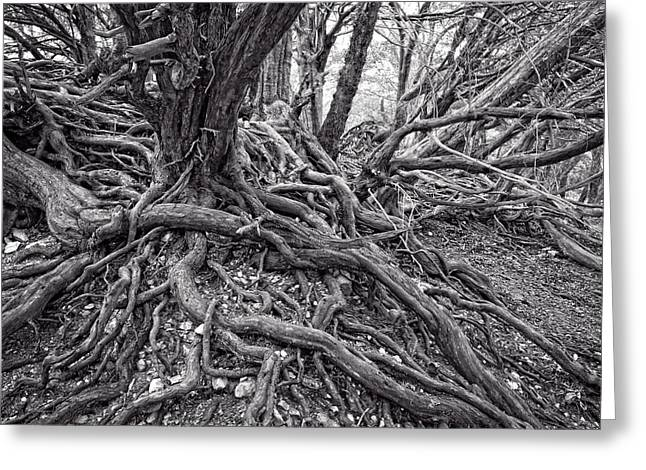Tree Roots Greeting Cards - Twisted Tree roots Greeting Card by Roy Pedersen