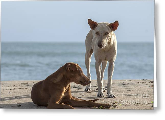 Guard Dog Greeting Cards - Two homeless dogs on the beach Greeting Card by Patricia Hofmeester