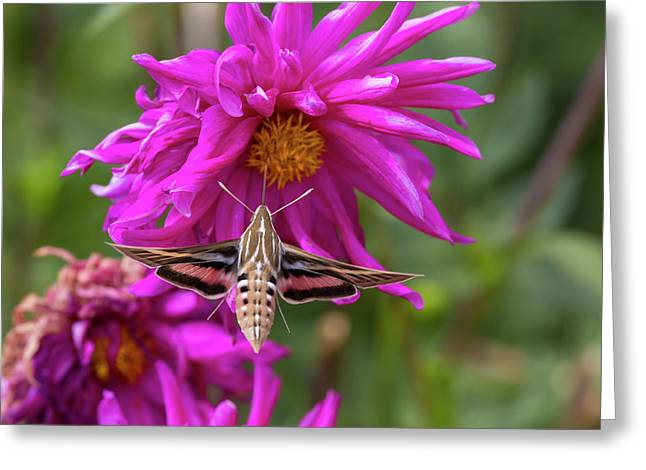 Usa, Colorado White-lined Sphinx Moth Greeting Card by Jaynes Gallery