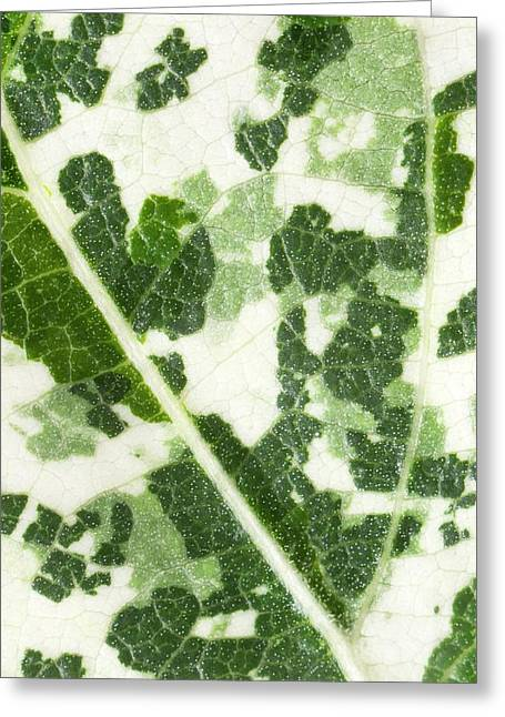 Variegated Leaf Of Poplar 'aurora' Greeting Card by Dr Jeremy Burgess
