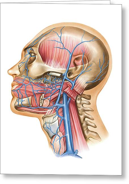 Venous System Of The Head And Neck Greeting Card by Asklepios Medical Atlas