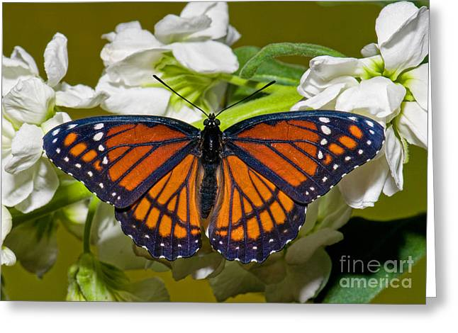 Duval County Greeting Cards - Viceroy Butterfly Greeting Card by Millard H. Sharp