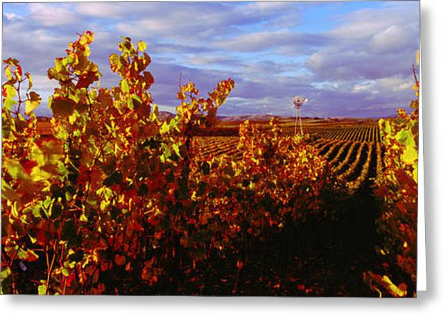 Vineyard Landscape Greeting Cards - Vineyard At Napa Valley, California, Usa Greeting Card by Panoramic Images