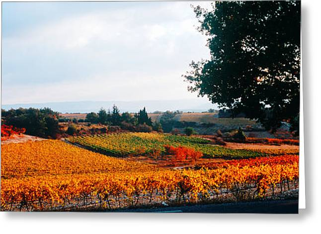 Vineyard Landscape Greeting Cards - Vineyards In The Late Afternoon Autumn Greeting Card by Panoramic Images