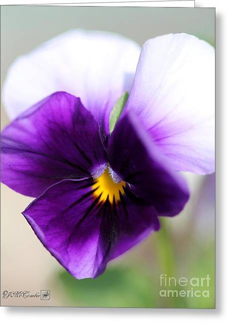 Sorbet Greeting Cards - Viola named Sorbet Violet Beacon Greeting Card by J McCombie