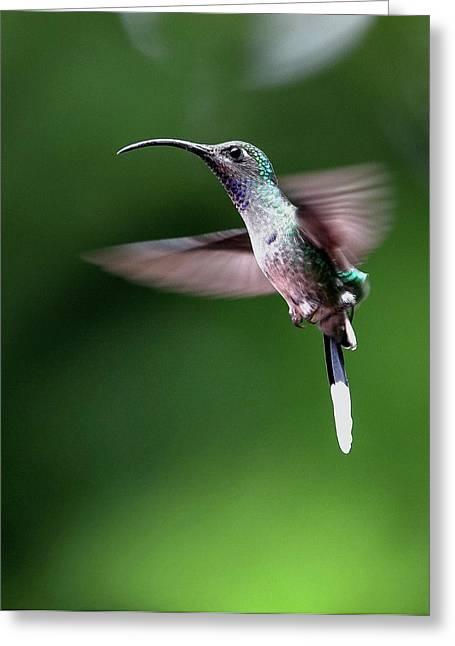 Violet Sabrewing Hummingbird Greeting Card by Nicolas Reusens