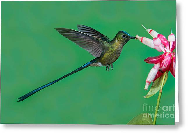 Hovering Greeting Cards - Violet-tailed Sylph Greeting Card by Anthony Mercieca