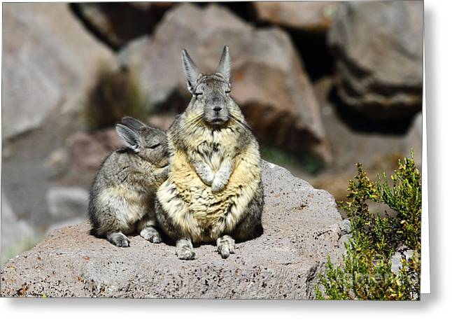 Sunbathing Greeting Cards - Viscacha Love Greeting Card by James Brunker