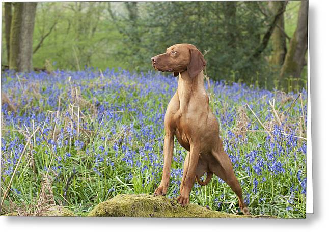 Magyar Vizsla Greeting Cards - Vizsla In Bluebells Greeting Card by John Daniels