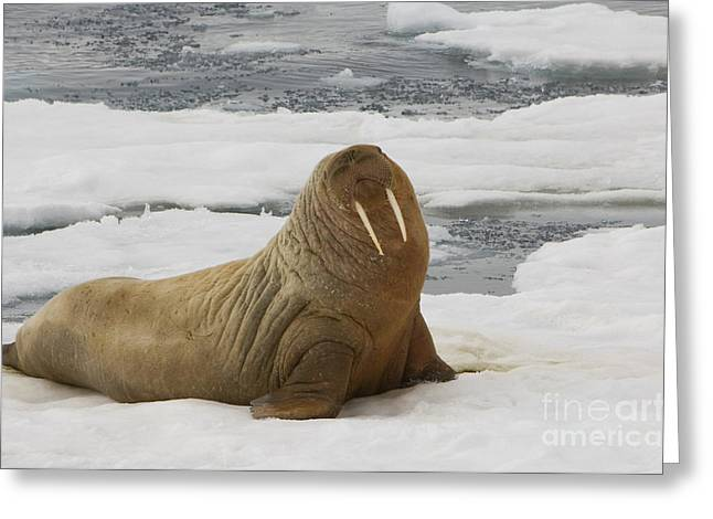 Walruses Greeting Cards - Walrus Resting On Ice Floe Greeting Card by John Shaw