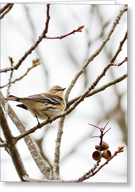 Birds On A Branch Greeting Cards - Warbler Calls Greeting Card by Annette Hugen