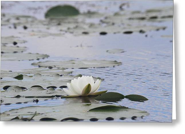 Lily Pads Greeting Cards - Water Lily 2 Greeting Card by Cathy Lindsey