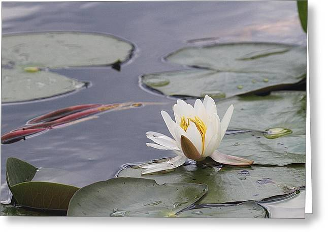 Lily Pads Greeting Cards - Water Lily Greeting Card by Cathy Lindsey