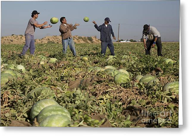 Watermelon Greeting Cards - Watermelon Harvest Greeting Card by Jim West