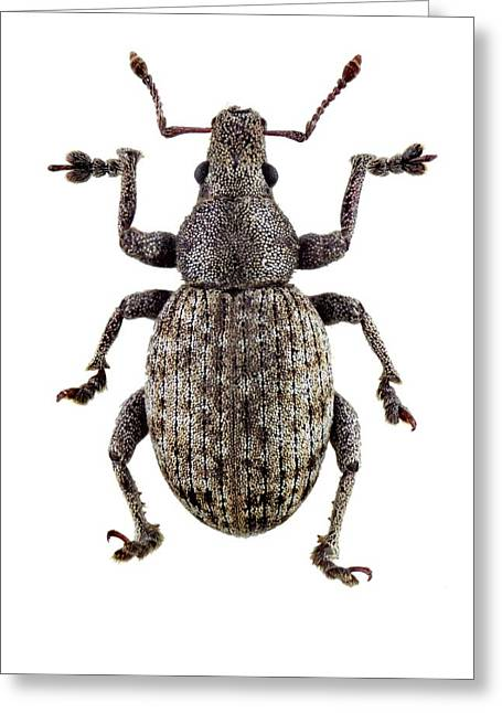 Weevil Greeting Card by F. Martinez Clavel