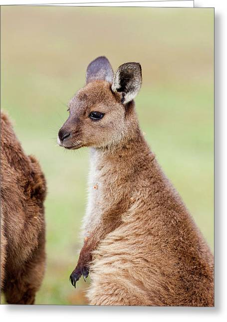 Western Grey Kangaroo (macropus Greeting Card by Martin Zwick