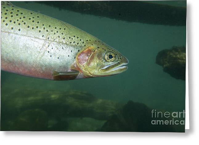 Salmonid Greeting Cards - Westslope Cutthroat Trout Greeting Card by William H. Mullins
