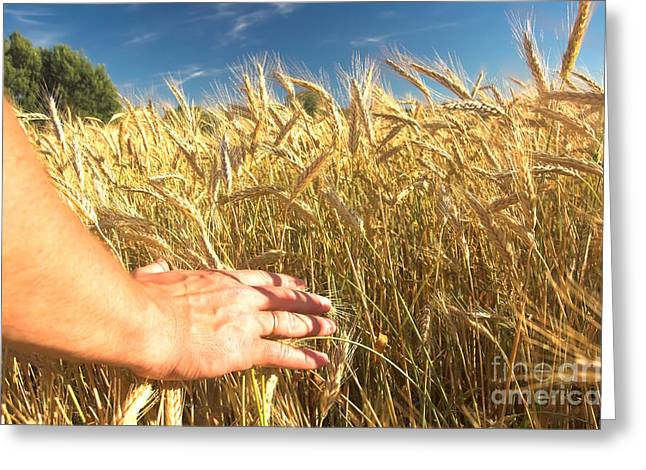Golden Summer Grass Greeting Cards - Wheat field Greeting Card by Michal Bednarek